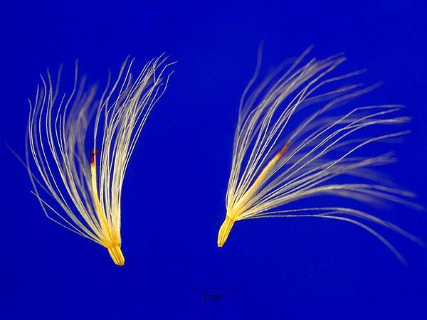 Eastern Baccharis (Baccharis Halimifolia) https://www.sagebud.com/eastern-baccharis-baccharis-halimifolia