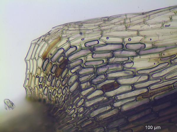 Bartramia Moss (Bartramia Ithyphylla) https://www.sagebud.com/bartramia-moss-bartramia-ithyphylla
