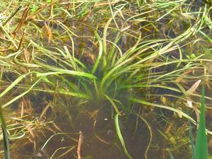 Waterplantain