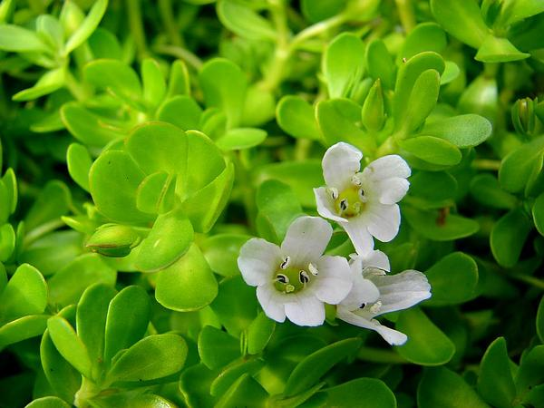 Herb Of Grace (Bacopa Monnieri) https://www.sagebud.com/herb-of-grace-bacopa-monnieri/