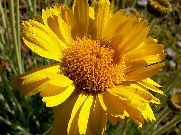 Desert Marigold (Baileya Multiradiata) https://www.sagebud.com/desert-marigold-baileya-multiradiata/