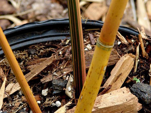Hedge Bamboo (Bambusa Multiplex) https://www.sagebud.com/hedge-bamboo-bambusa-multiplex/