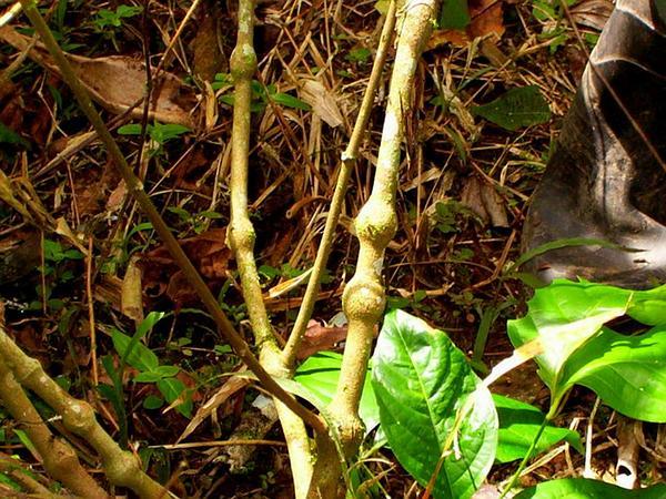 Banisteriopsis (Banisteriopsis) https://www.sagebud.com/banisteriopsis-banisteriopsis/