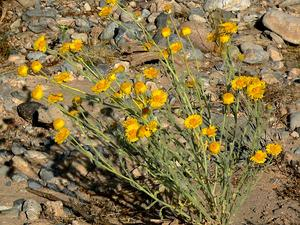 Woolly Desert Marigold