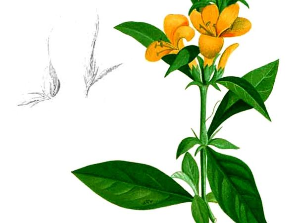 Porcupine Flower (Barleria Prionitis) https://www.sagebud.com/porcupine-flower-barleria-prionitis