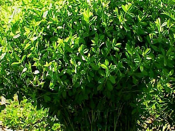 Wild Indigo (Baptisia) https://www.sagebud.com/wild-indigo-baptisia