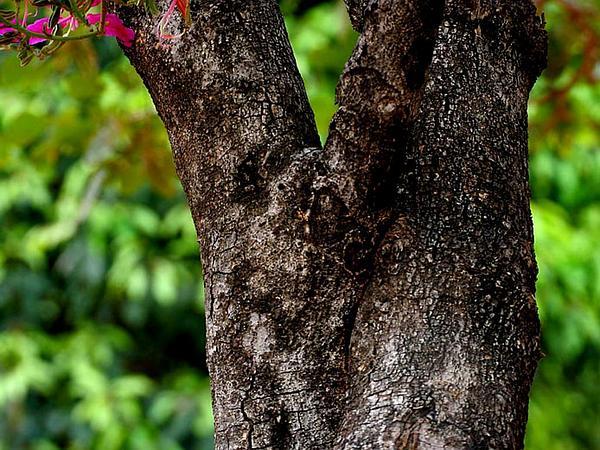 Butterfly Tree (Bauhinia Purpurea) https://www.sagebud.com/butterfly-tree-bauhinia-purpurea