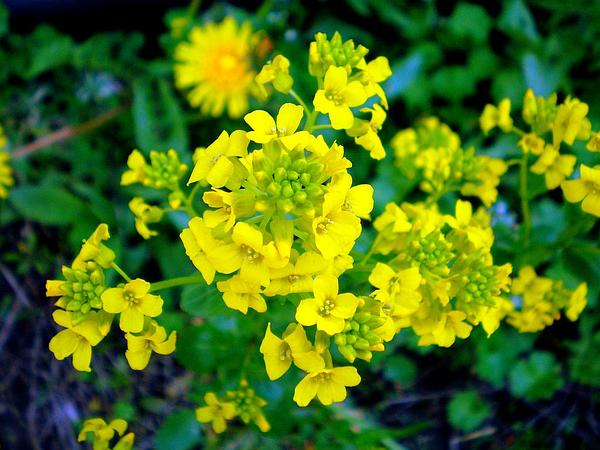Yellowrocket (Barbarea) https://www.sagebud.com/yellowrocket-barbarea/