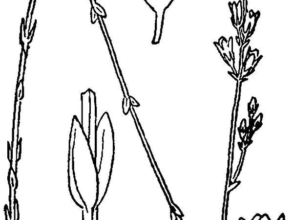 Screwstem (Bartonia) https://www.sagebud.com/screwstem-bartonia/