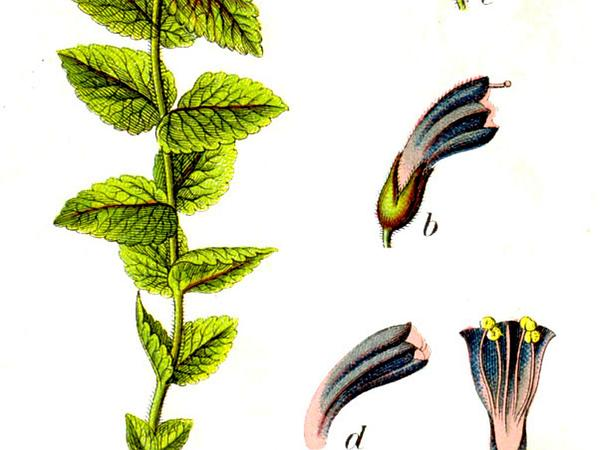 Velvetbells (Bartsia) https://www.sagebud.com/velvetbells-bartsia