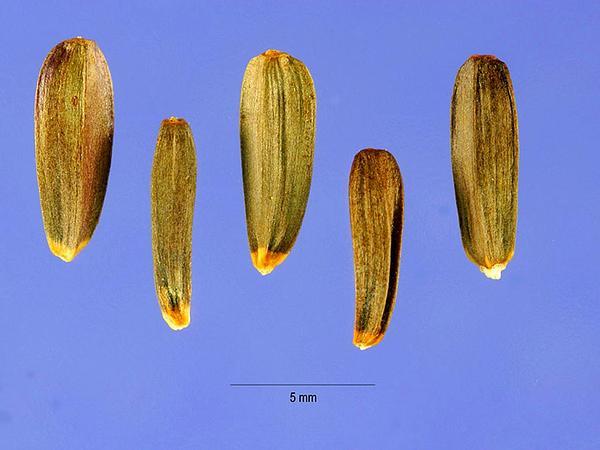 Arrowleaf Balsamroot (Balsamorhiza Sagittata) https://www.sagebud.com/arrowleaf-balsamroot-balsamorhiza-sagittata