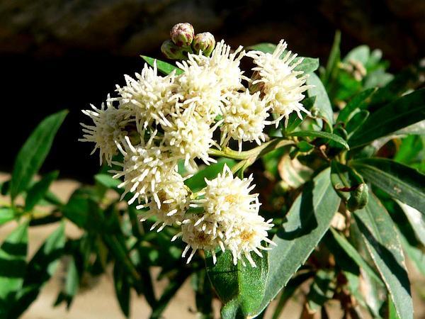 Mule-Fat (Baccharis Salicifolia) https://www.sagebud.com/mule-fat-baccharis-salicifolia