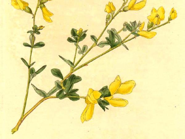 Horseflyweed (Baptisia Tinctoria) https://www.sagebud.com/horseflyweed-baptisia-tinctoria