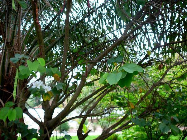 Mountain Ebony (Bauhinia Variegata) https://www.sagebud.com/mountain-ebony-bauhinia-variegata/