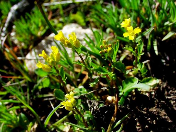 Early Yellowrocket (Barbarea Verna) https://www.sagebud.com/early-yellowrocket-barbarea-verna