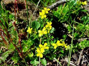 Early Yellowrocket