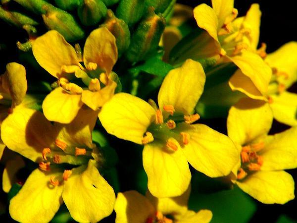 Garden Yellowrocket (Barbarea Vulgaris) https://www.sagebud.com/garden-yellowrocket-barbarea-vulgaris