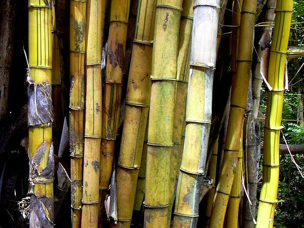 Common Bamboo (Bambusa Vulgaris) https://www.sagebud.com/common-bamboo-bambusa-vulgaris