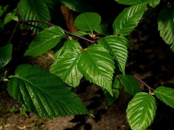 Yellow Birch (Betula Alleghaniensis) https://www.sagebud.com/yellow-birch-betula-alleghaniensis