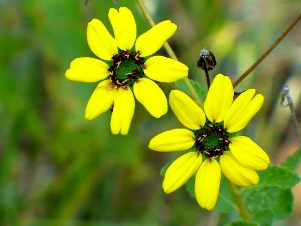Texas Greeneyes (Berlandiera Betonicifolia) https://www.sagebud.com/texas-greeneyes-berlandiera-betonicifolia