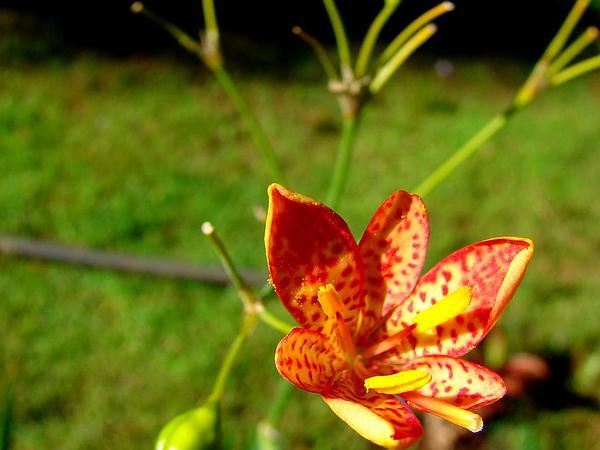 Blackberry Lily (Belamcanda Chinensis) https://www.sagebud.com/blackberry-lily-belamcanda-chinensis