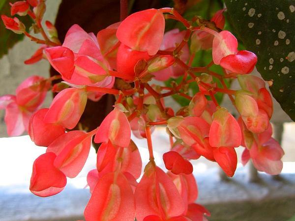 Scarlet Begonia (Begonia Coccinea) https://www.sagebud.com/scarlet-begonia-begonia-coccinea/