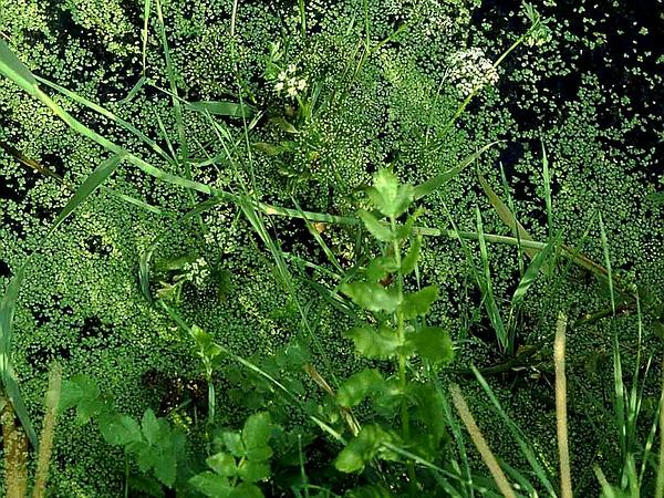 Cutleaf Waterparsnip (Berula Erecta) https://www.sagebud.com/cutleaf-waterparsnip-berula-erecta