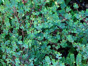 Fuchsia Begonia