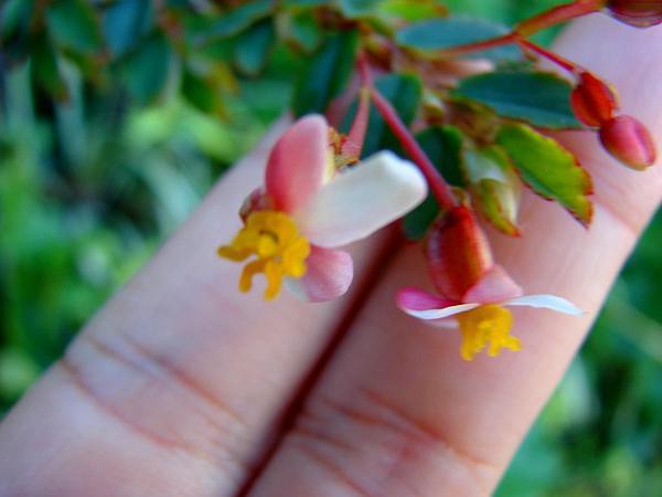 Fuchsia Begonia (Begonia Foliosa) https://www.sagebud.com/fuchsia-begonia-begonia-foliosa