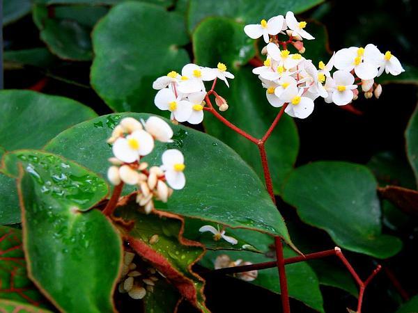 Begonia (Begonia) https://www.sagebud.com/begonia-begonia