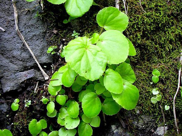 Brazilian Begonia (Begonia Hirtella) https://www.sagebud.com/brazilian-begonia-begonia-hirtella