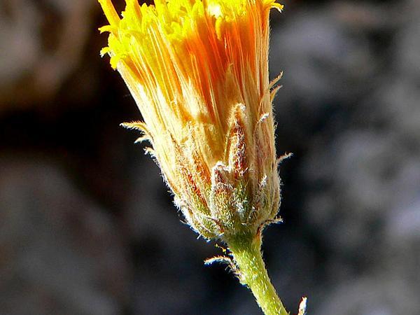 Sweetbush (Bebbia Juncea) https://www.sagebud.com/sweetbush-bebbia-juncea/