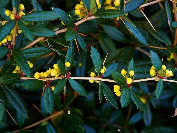 Wintergreen Barberry (Berberis Julianae) https://www.sagebud.com/wintergreen-barberry-berberis-julianae/