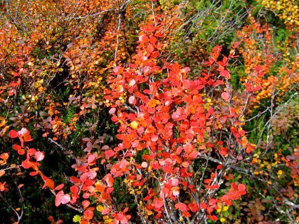 Dwarf Birch (Betula Nana) https://www.sagebud.com/dwarf-birch-betula-nana