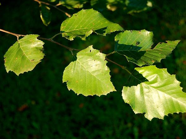 River Birch (Betula Nigra) https://www.sagebud.com/river-birch-betula-nigra