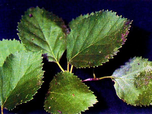 Water Birch (Betula Occidentalis) https://www.sagebud.com/water-birch-betula-occidentalis
