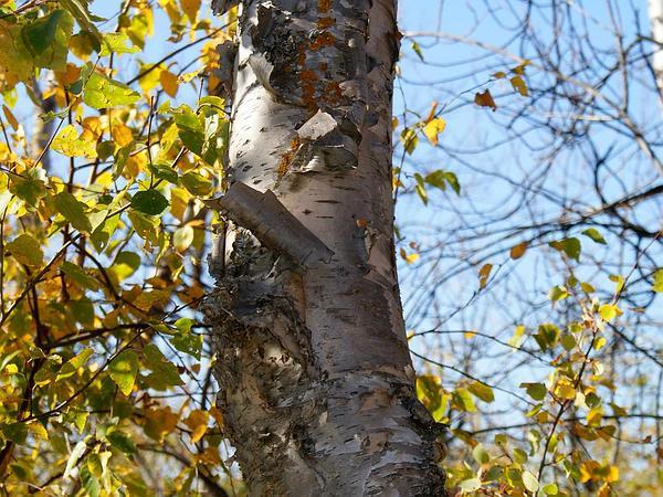 Paper Birch (Betula Papyrifera) https://www.sagebud.com/paper-birch-betula-papyrifera