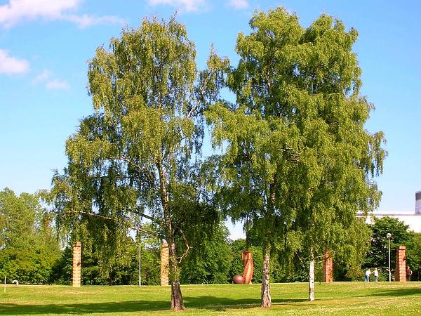 European White Birch (Betula Pendula) https://www.sagebud.com/european-white-birch-betula-pendula