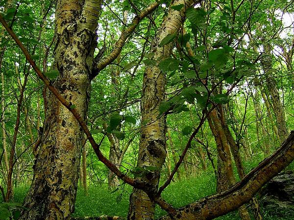 Asian White Birch (Betula Platyphylla) https://www.sagebud.com/asian-white-birch-betula-platyphylla