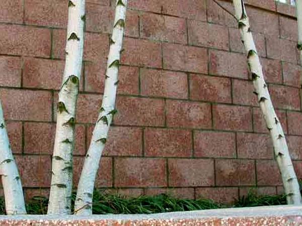 Gray Birch (Betula Populifolia) https://www.sagebud.com/gray-birch-betula-populifolia