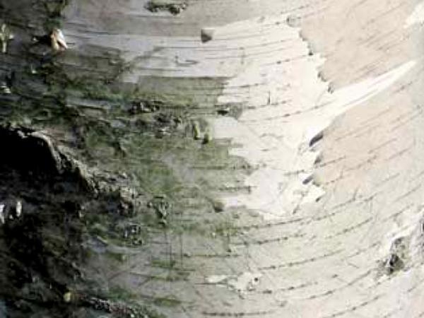 Gray Birch (Betula Populifolia) https://www.sagebud.com/gray-birch-betula-populifolia/