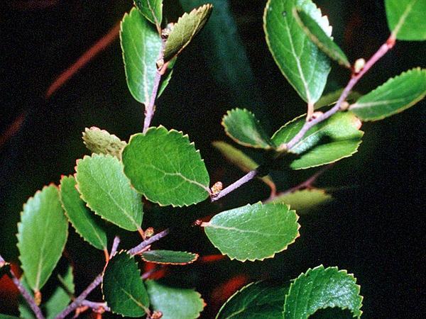 Bog Birch (Betula Pumila) https://www.sagebud.com/bog-birch-betula-pumila