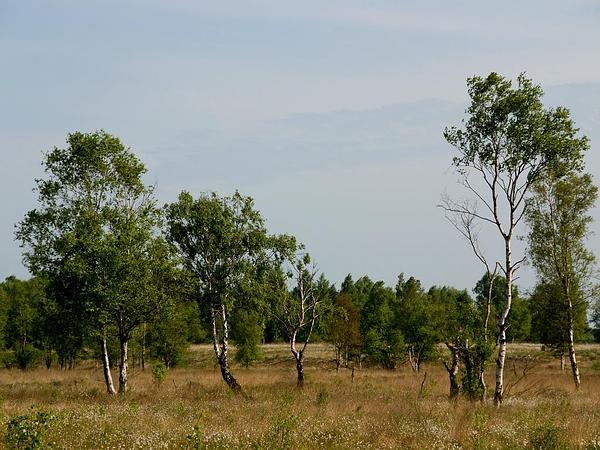 Downy Birch (Betula Pubescens) https://www.sagebud.com/downy-birch-betula-pubescens