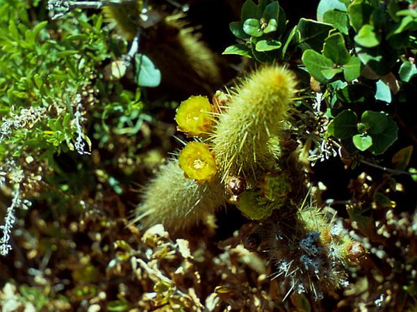 Snakecactus (Bergerocactus) https://www.sagebud.com/snakecactus-bergerocactus/