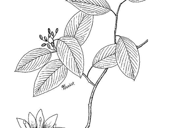 Alabama Supplejack (Berchemia Scandens) https://www.sagebud.com/alabama-supplejack-berchemia-scandens/