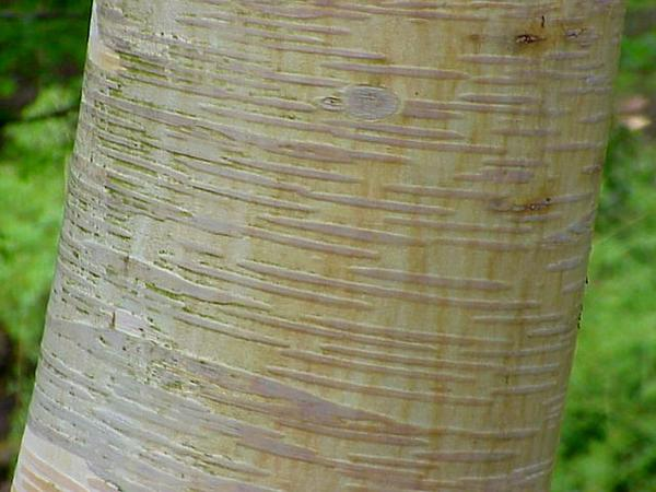 Birch (Betula) https://www.sagebud.com/birch-betula