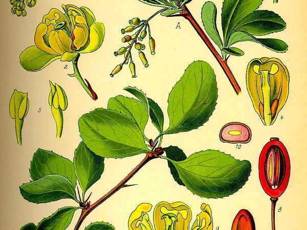 Common Barberry (Berberis Vulgaris) https://www.sagebud.com/common-barberry-berberis-vulgaris
