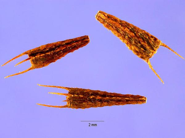 Purplestem Beggarticks (Bidens Connata) https://www.sagebud.com/purplestem-beggarticks-bidens-connata