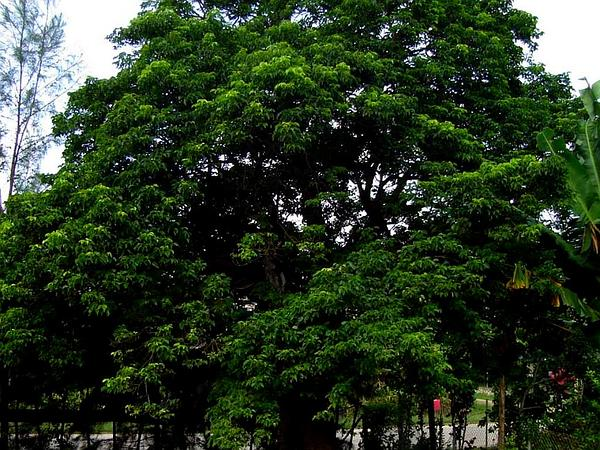 Javanese Bishopwood (Bischofia Javanica) https://www.sagebud.com/javanese-bishopwood-bischofia-javanica