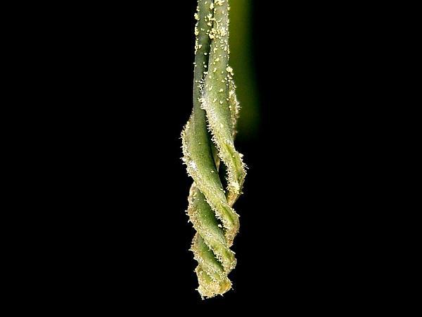 Billbergia (Billbergia) https://www.sagebud.com/billbergia-billbergia